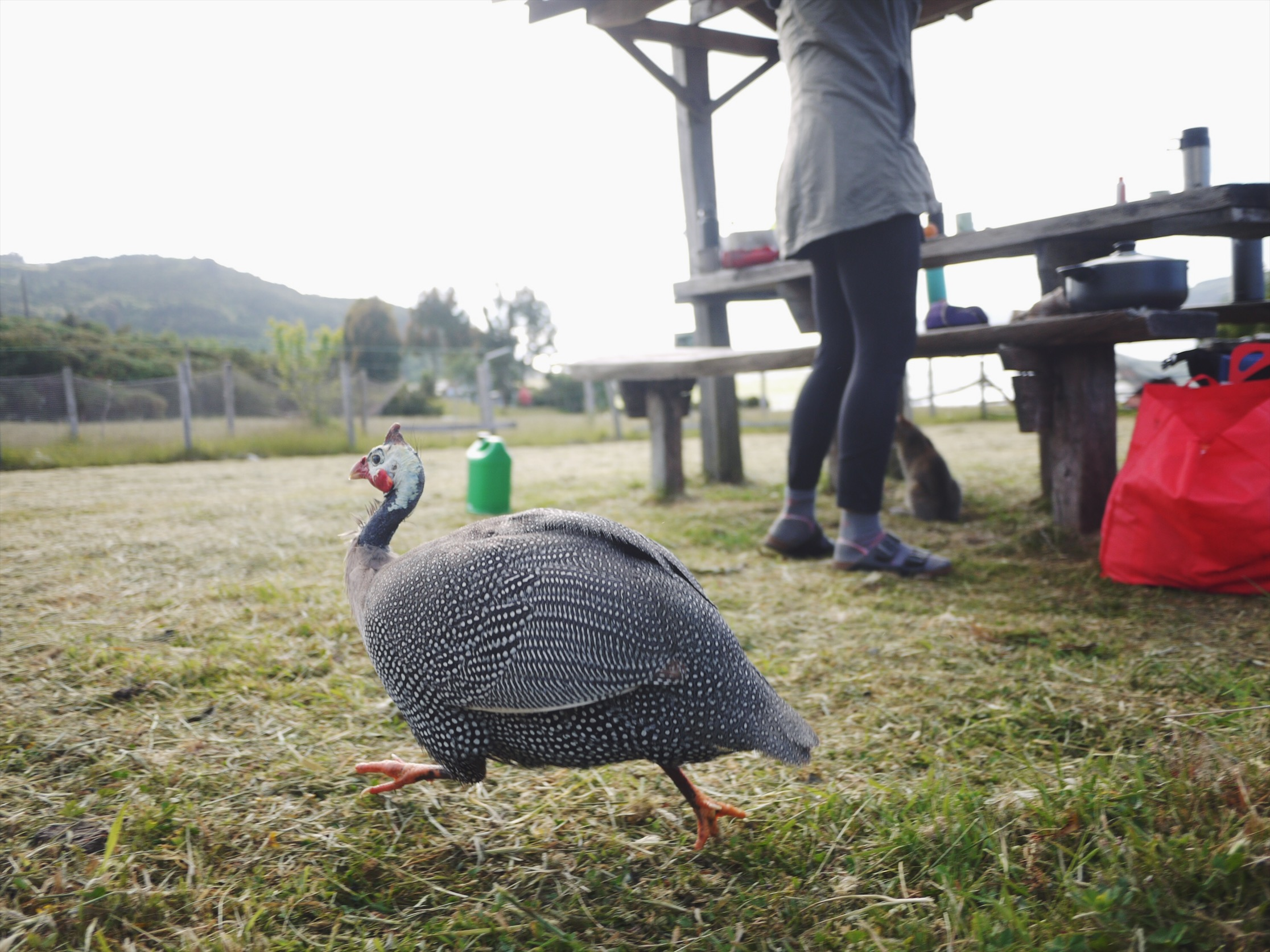 Guinea Fowl (domestic) as captured by our resident amateur birder. AKA guy chasing chickens around the yard with the camera at his feet.