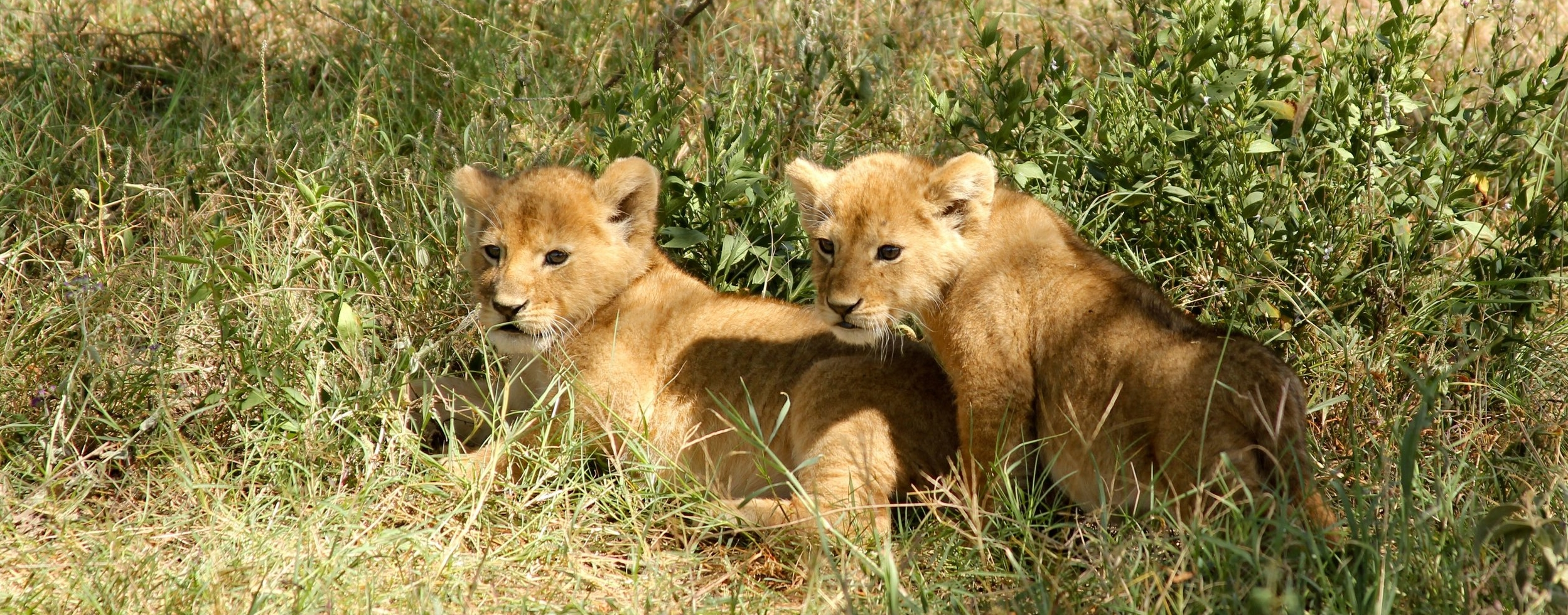 Copycats in the wild by timon studler