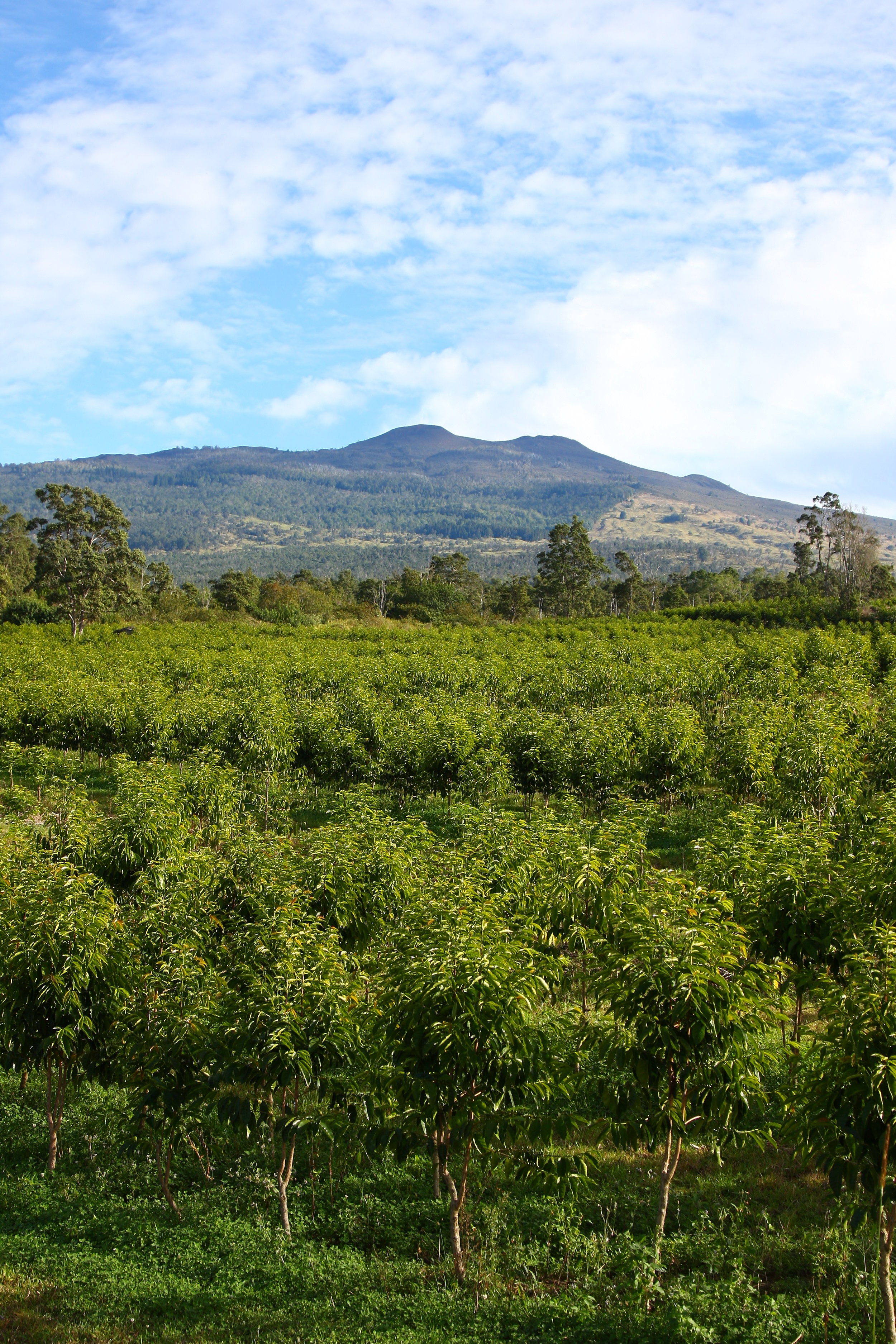 Kona Coffee and Tea Company Farm, Holualoa, Kona, Hawaii  PHOTO: Kirk Lee Aeder