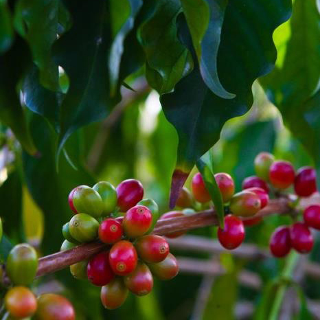 2000 - Our first coffee cherry ripened, was harvested, and we started roasting.