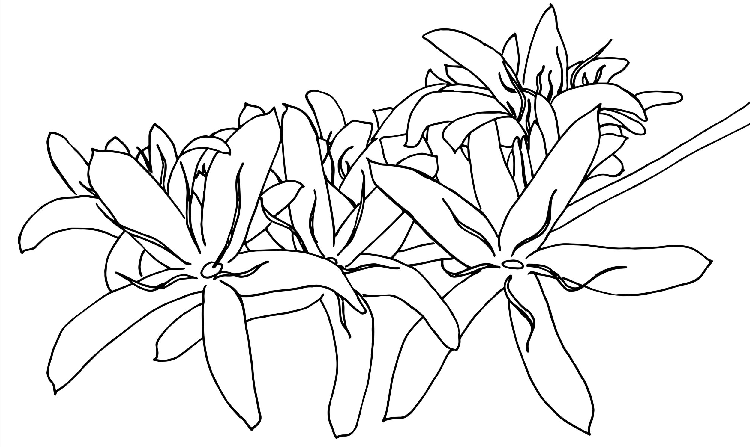 One of the original drawings of Kona Snow or Kona coffee blossoms, used in making the coffee print of the new Kona Coffee & Tea bags. ART: Dayva Keolanui