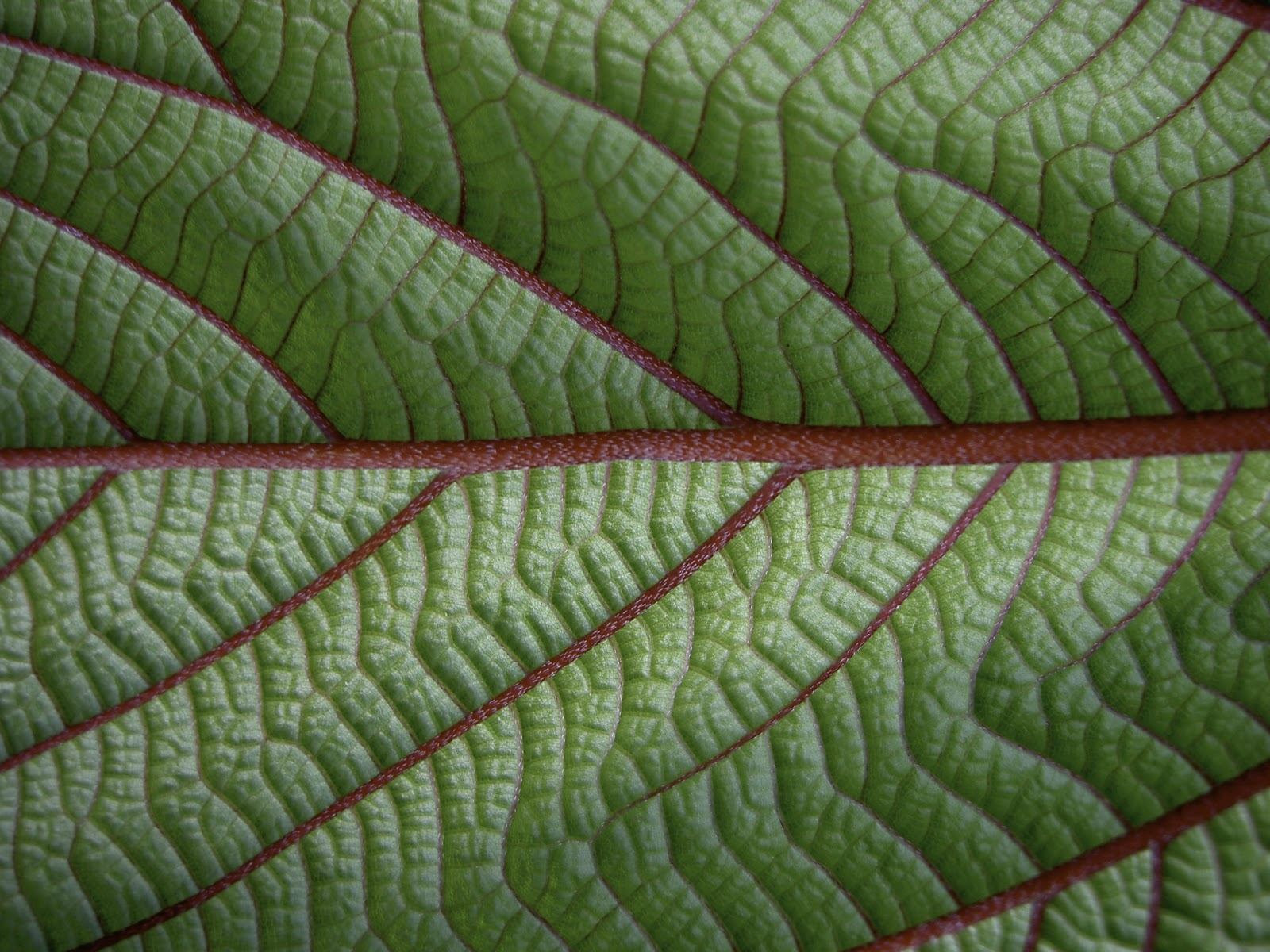 A close-up view of a Mamaki leaf shows the bright red veins. PHOTO: Tea Chest