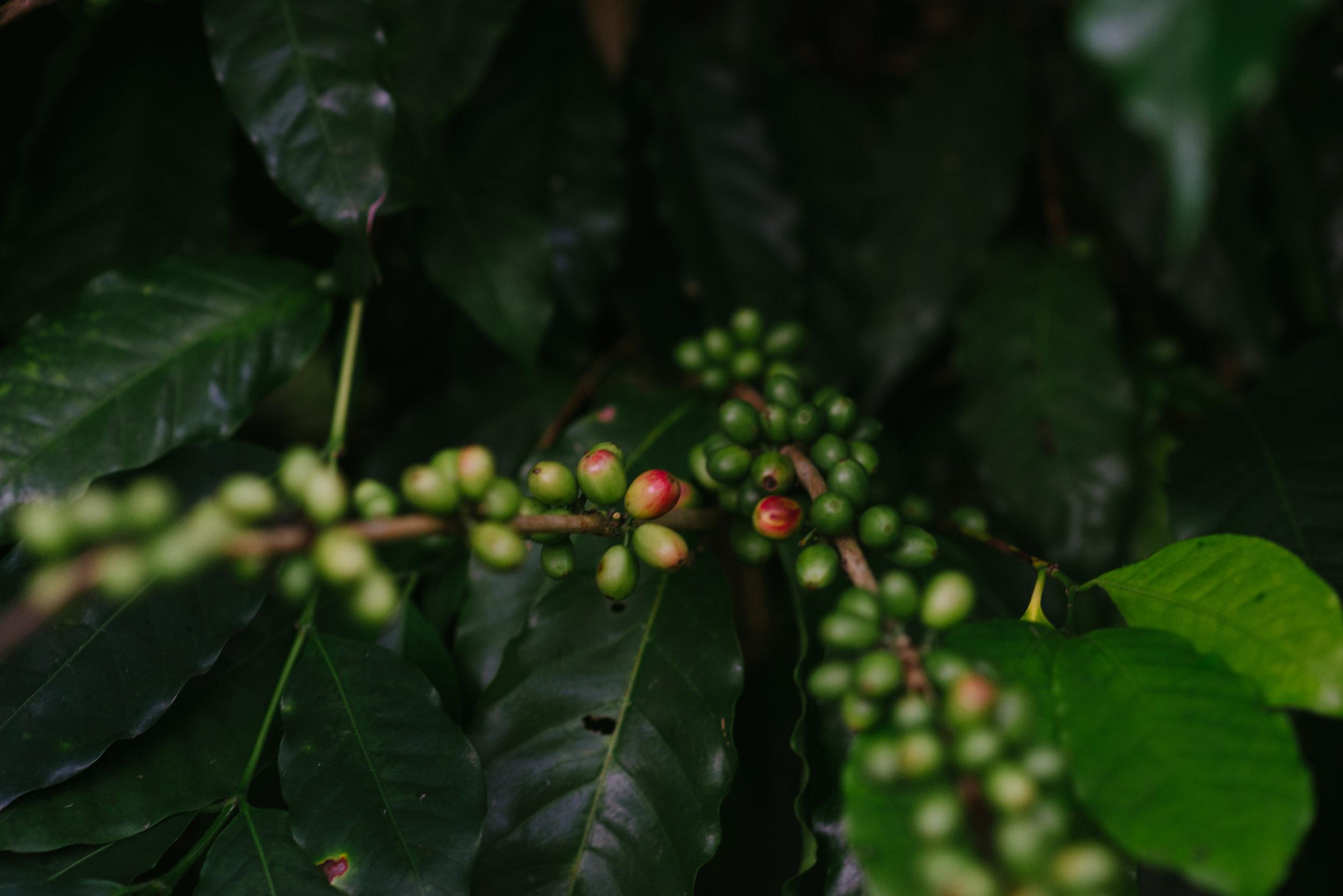 Coffee Cherry Green.jpg