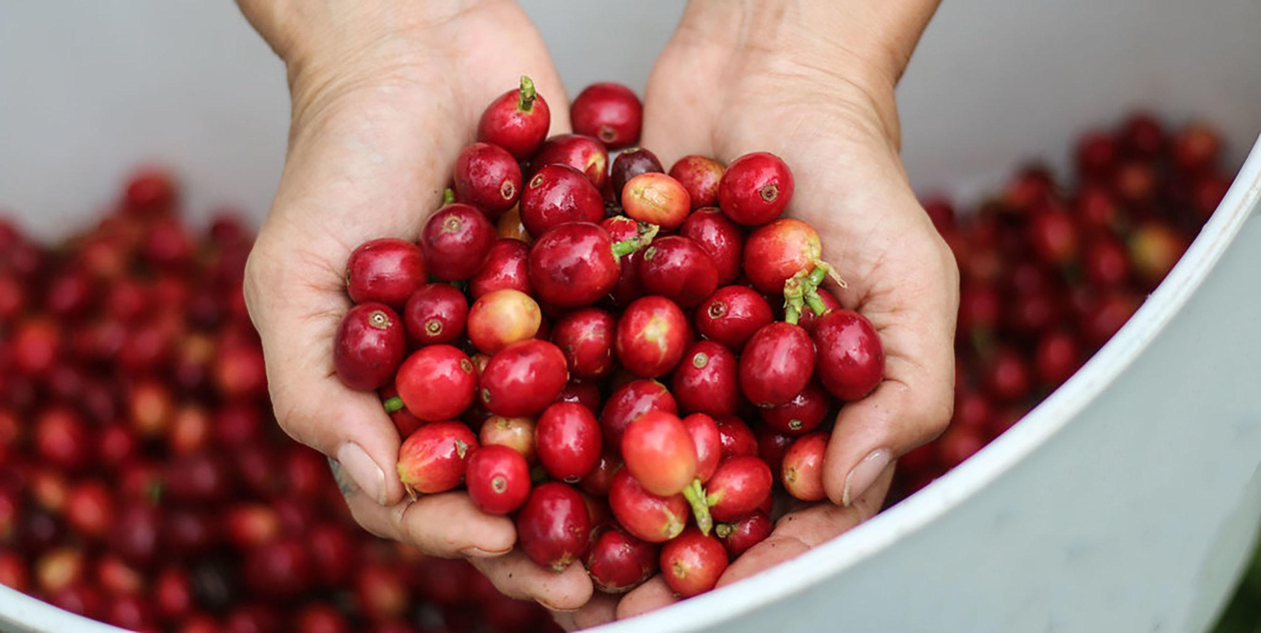 Hands Coffee Cherry Kona