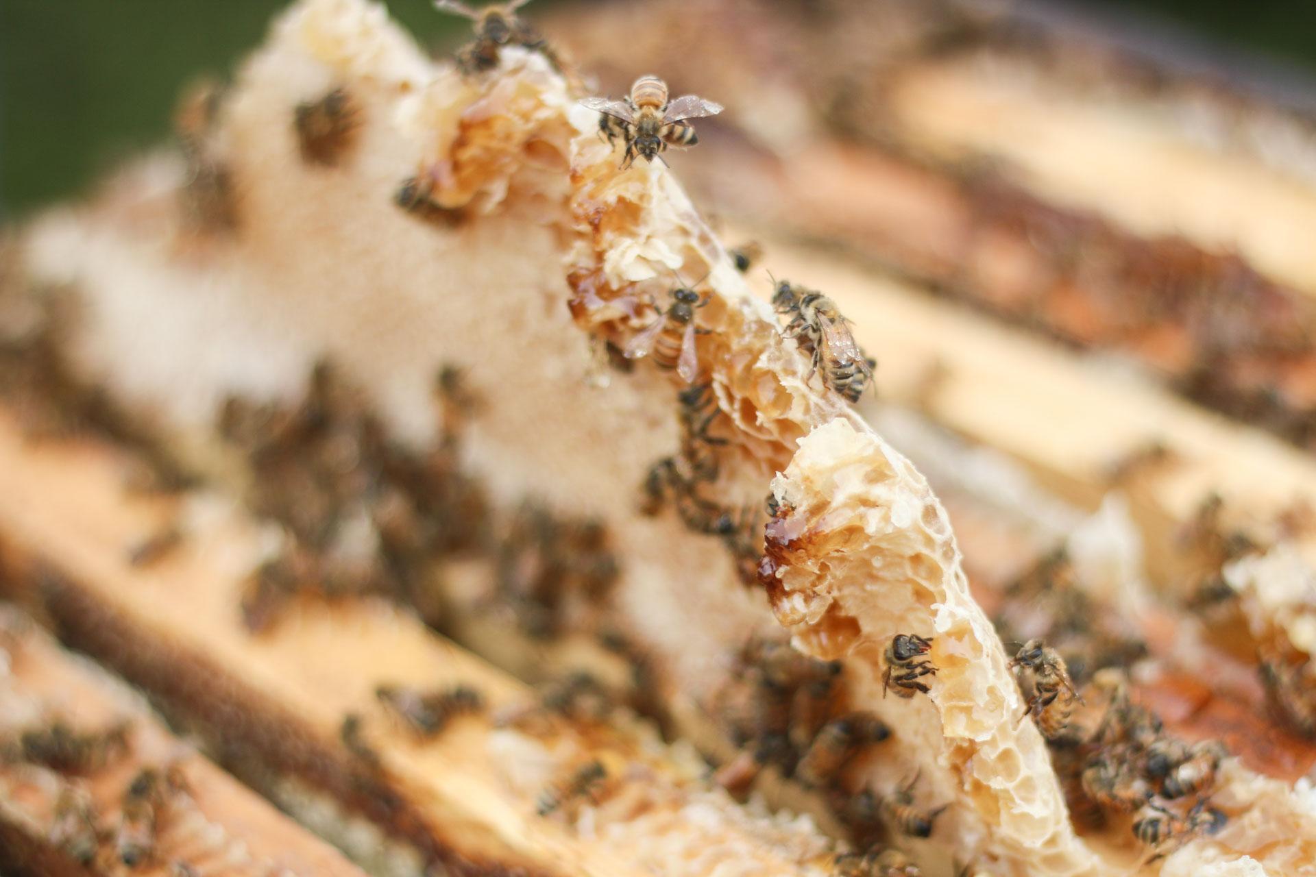 Honeycomb ready for harvest on the Kona Coffee & Tea farm. PHOTO: Chance Ortiz