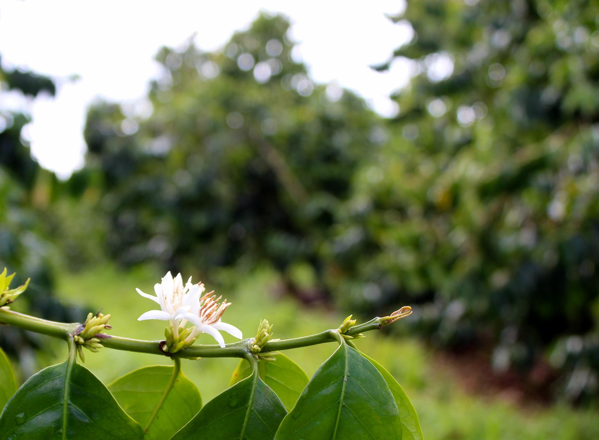 "Kona coffee flower ""Kona Snow"" in bloom. PHOTO: Dayva Keolanui"