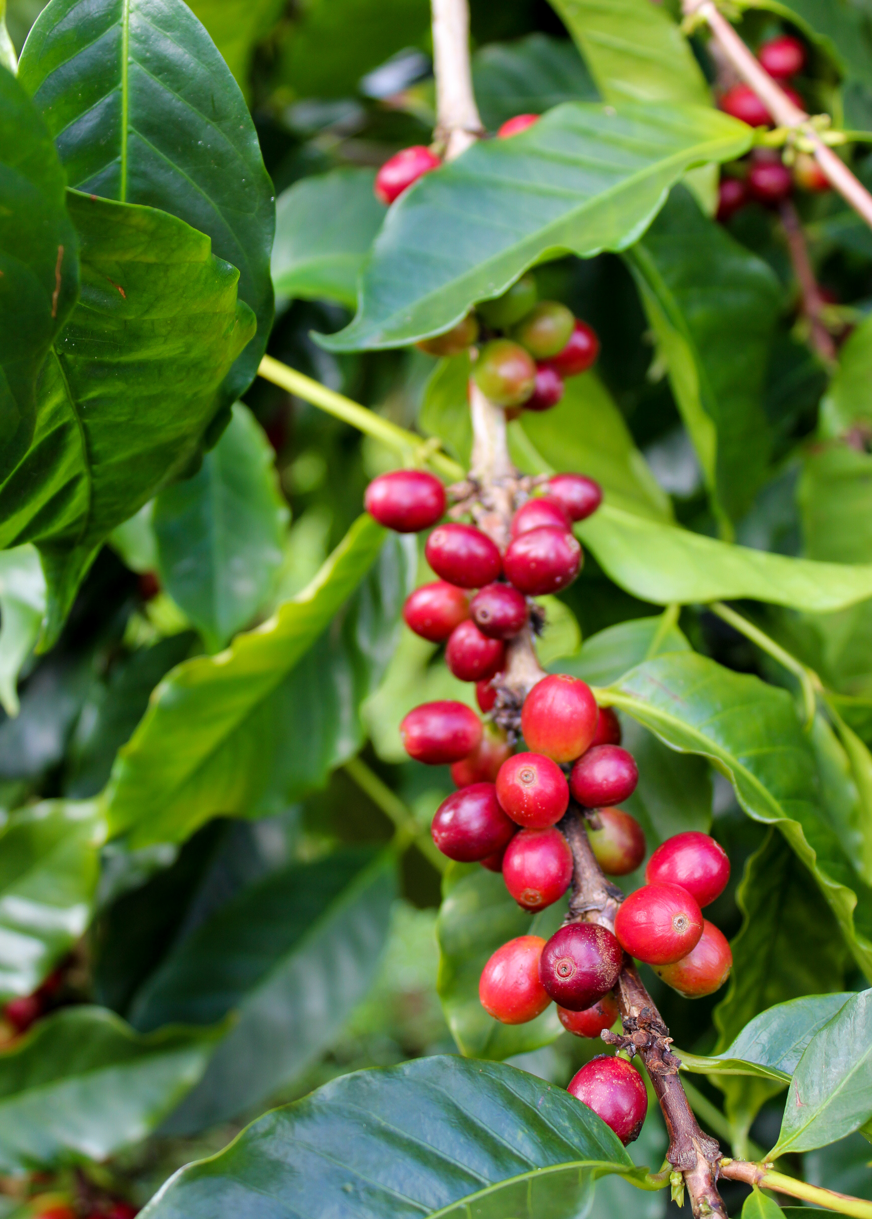 Farm — Kona Coffee and Tea Company