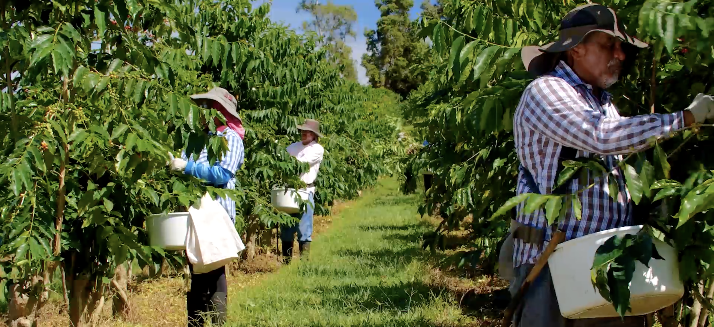 Kona coffee and Tea Farm picking.png
