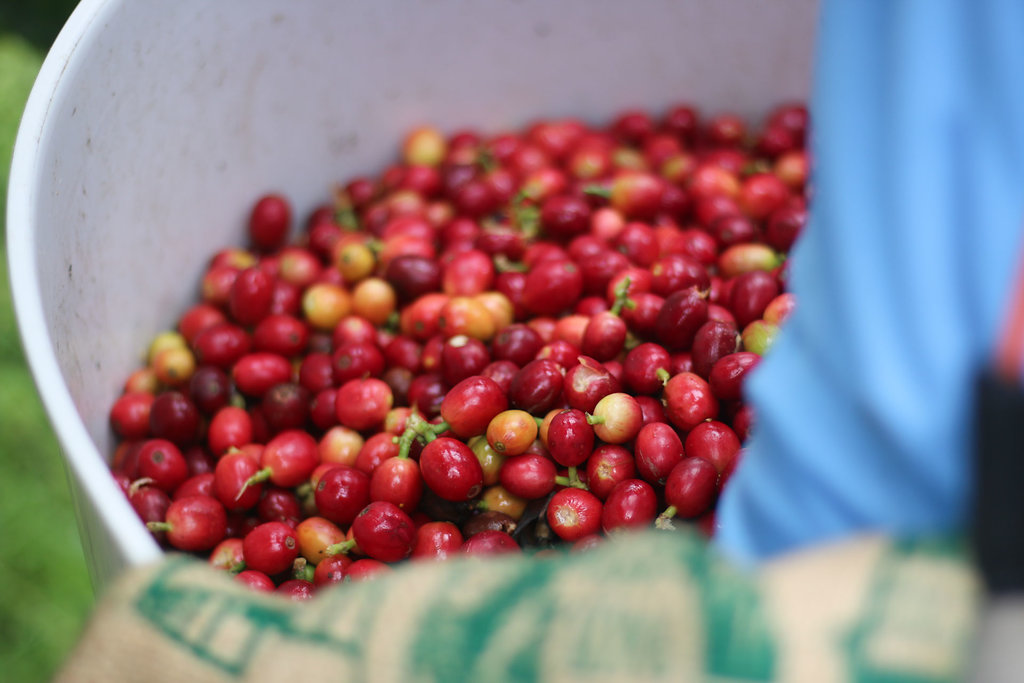 Kona Coffee cherry picking tour.jpg