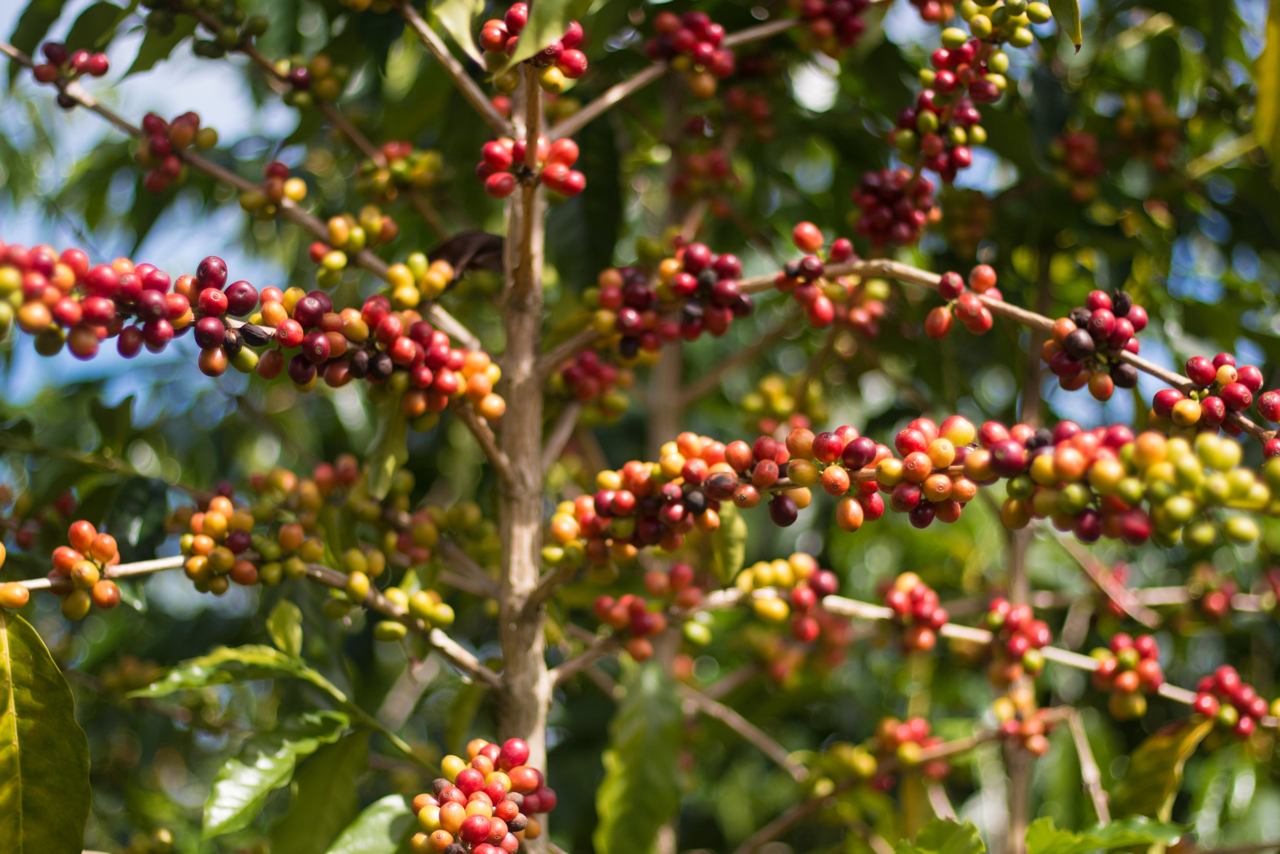 Only the brightest red coffee cherry are picked, leaving the fruit to ripen until another round of picking. PHOTO: Chance Ortiz