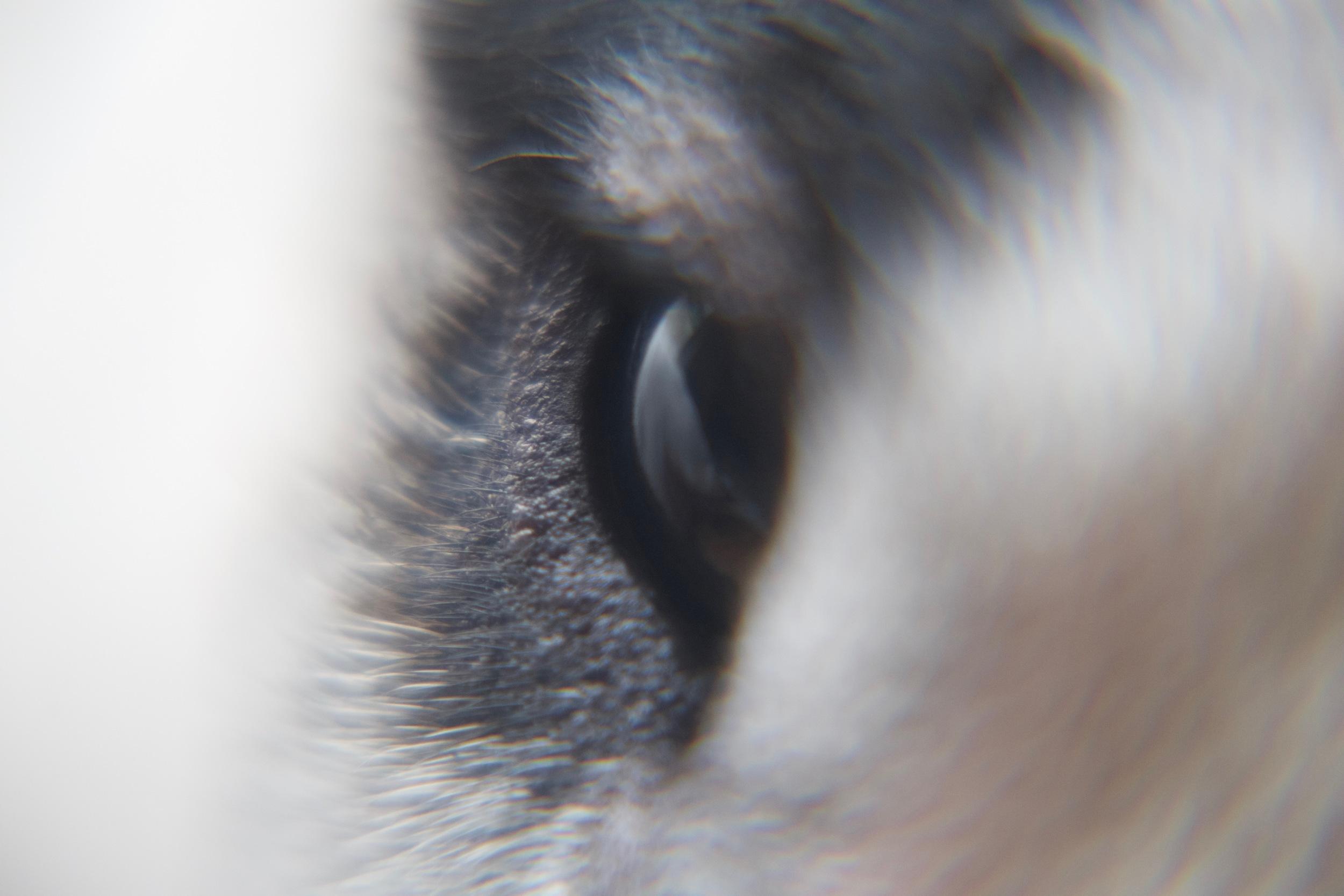 Delicious Bull Terrier Eye
