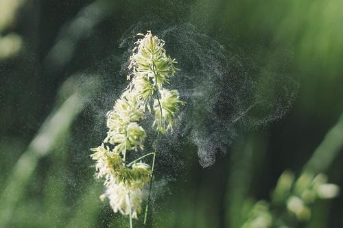 ragweed, allergies, pollen, seasonal allergies