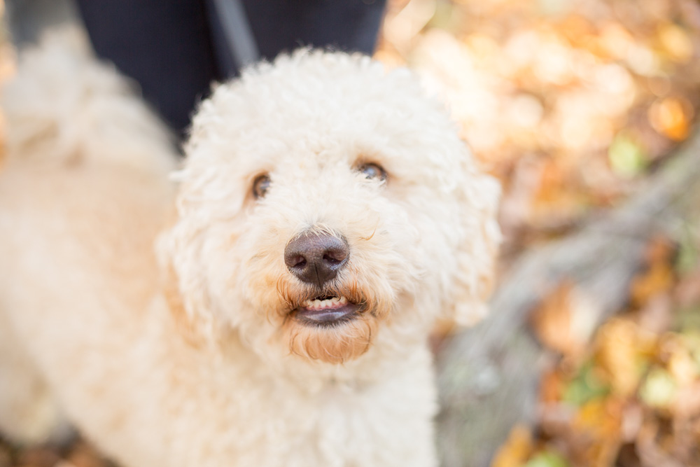 Cute labradoodle in the woods | Northern Virginia dog photographer