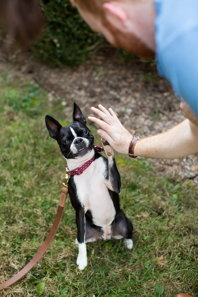 Boston Terrier giving a high five | Dog Photography in Northern Virginia
