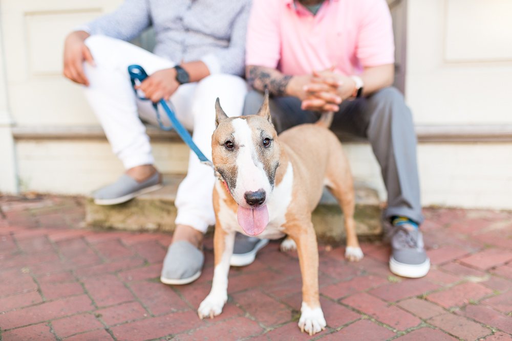 Cute bull terrier on the streets of Old Town Alexandria with her two dads