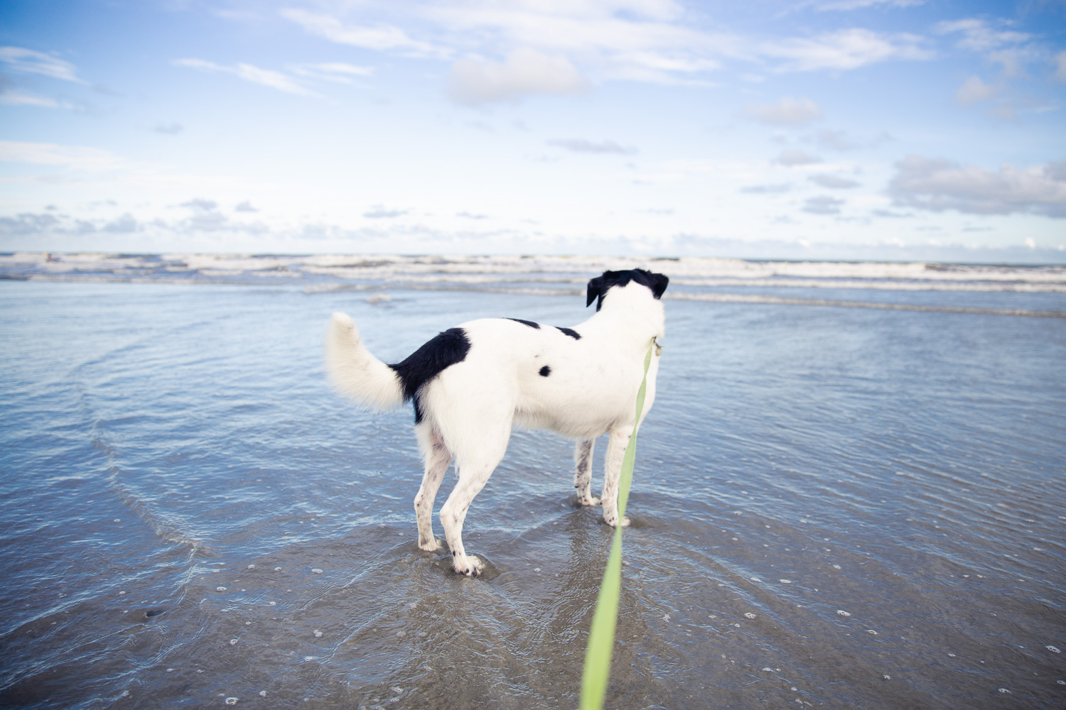 Black and white dog looking at the ocean