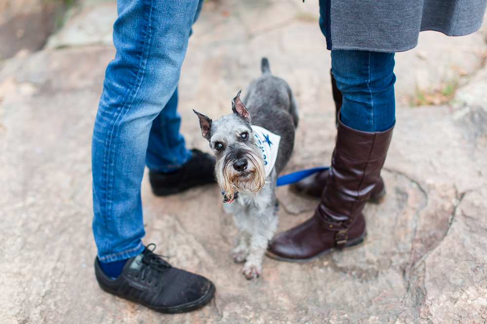 Miniature schnauzer posing for the camera during engagement session