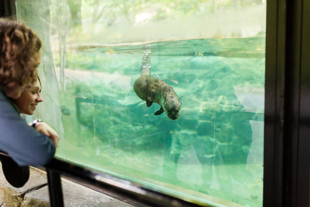 Otter swimming toward the glass at the National Zoo
