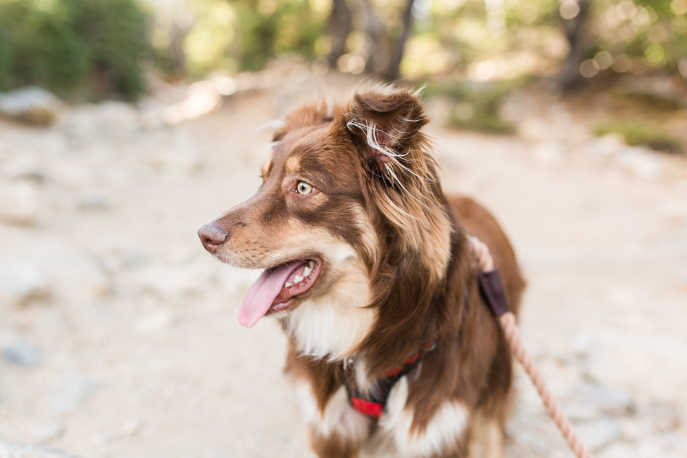 Miniature Australian shepherd hiking on the dog-friendly trail at St. Mary's Glacier | Colorado Dog Photographer