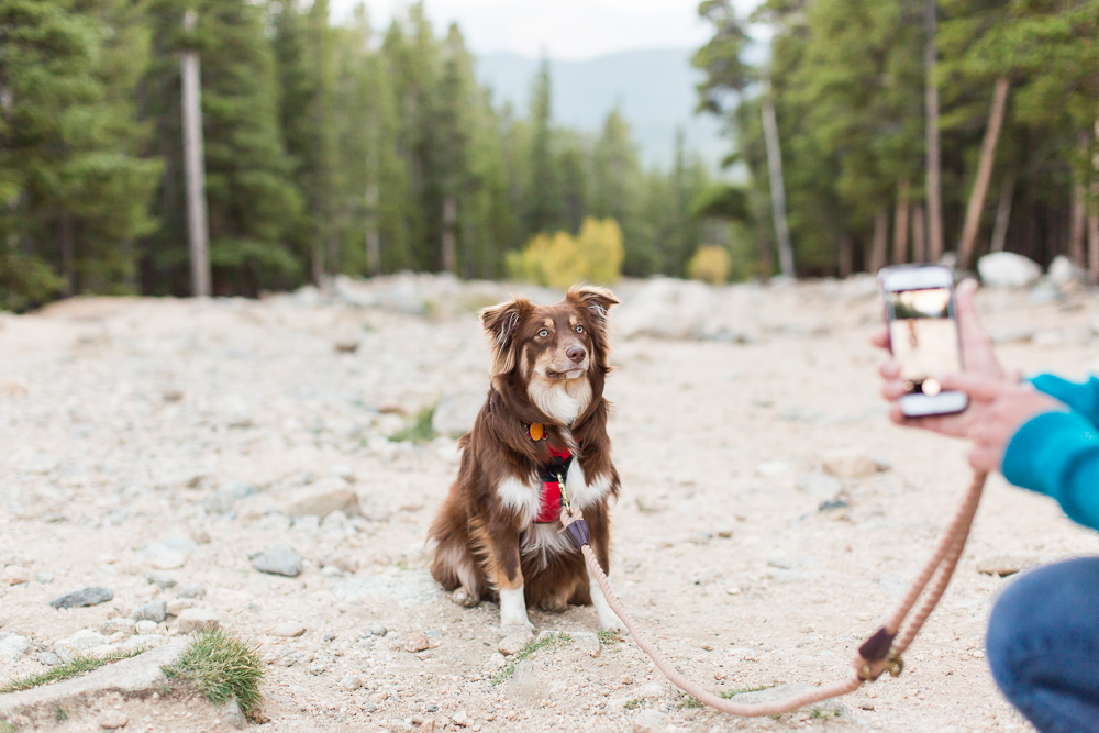 Mini Aussie posing for an Instagram photo while on a trail in the Colorado mountains | Adventure dog photography in Colorado