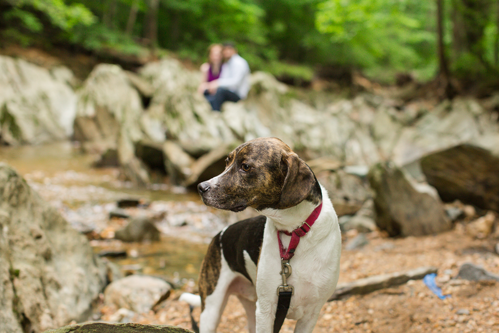 Hound mix rescue dog at Scott's Run Nature Preserve in McLean   Rescue dog photography
