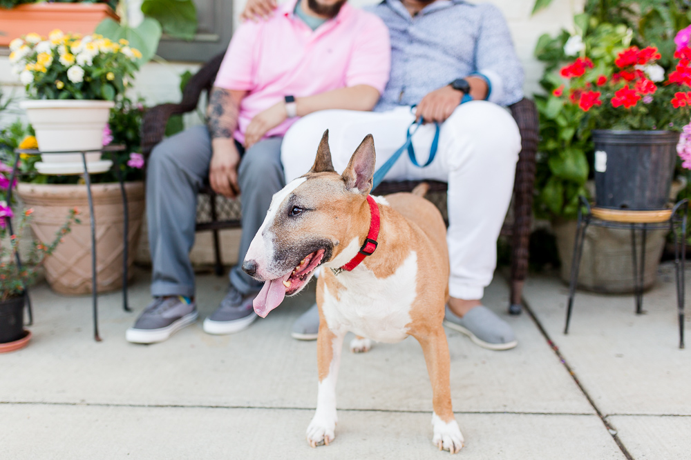 Rescued bull terrier with her dads in Old Town Alexandria