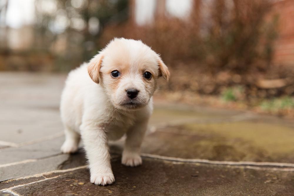 Adorable white puppy rescue dog walking towards the camera   DC Dog Photographer