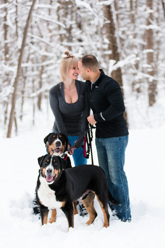 Greater Swiss Mountain Dogs smiling at the camera while their parents look at each other | Best engagement and dog photography in Northern Virginia