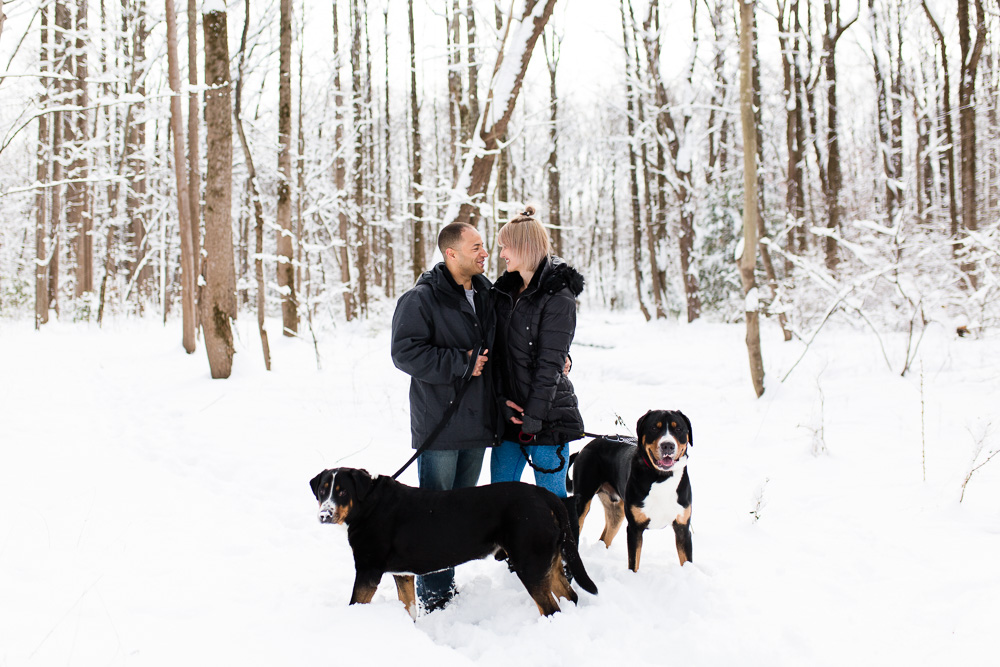 Greater Swiss Mountain dogs playing in the snow during a winter engagement session