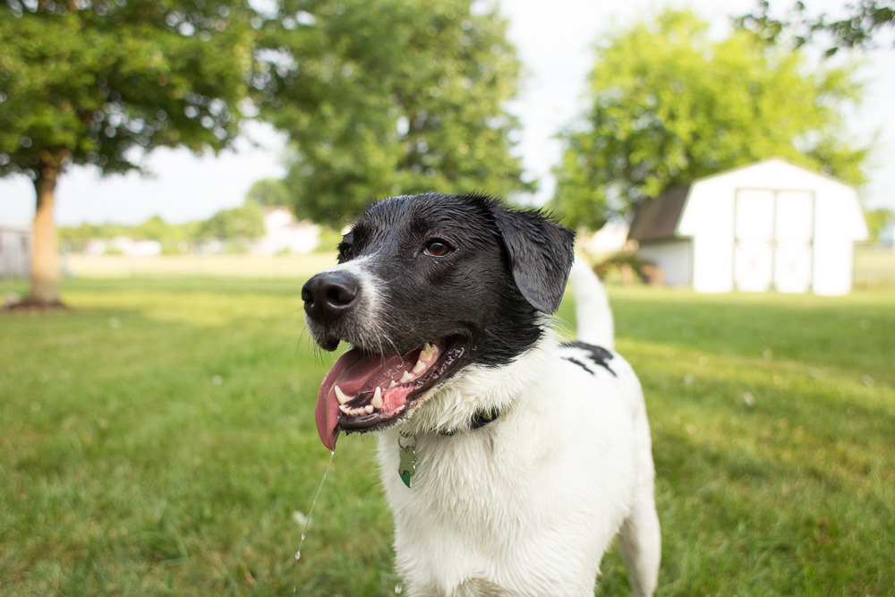 Smiling dog on a sunny day after playing with the hose water | Candid dog photographer Northern Virginia