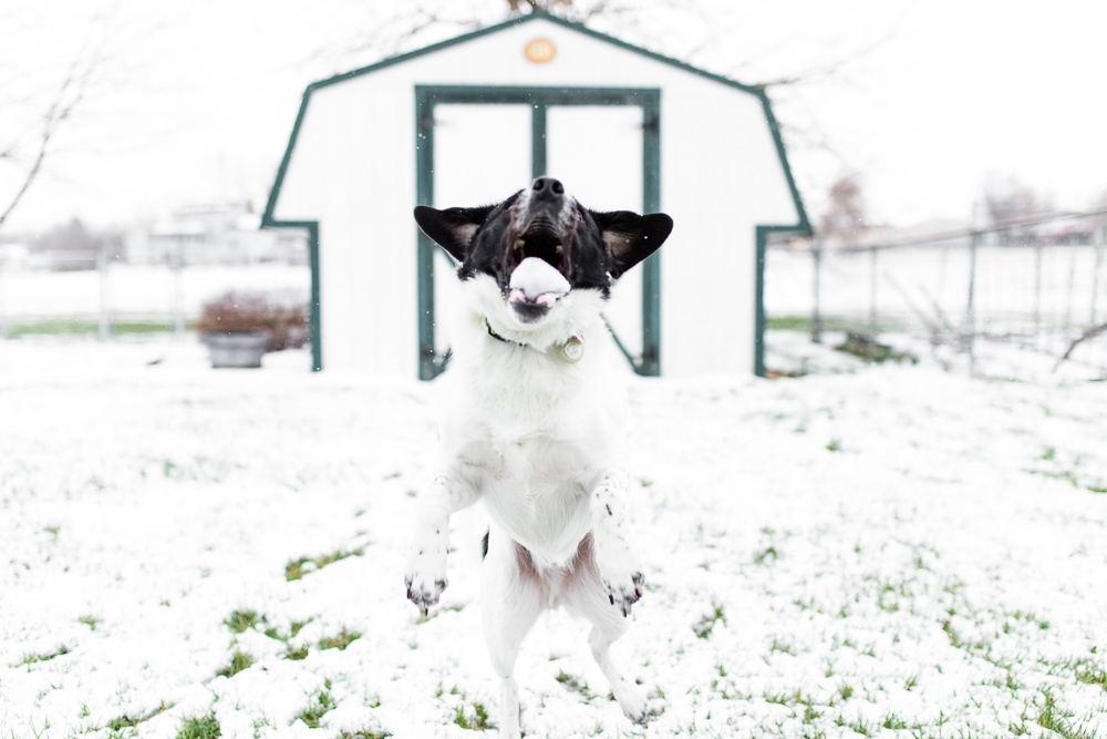 Fun picture of dog catching a snowball in his mouth | DC candid dog photographer