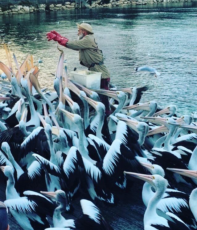 Pelican Feeding in Kingscote