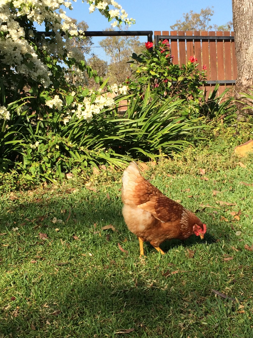 These chooks sure were fun to put away at night...