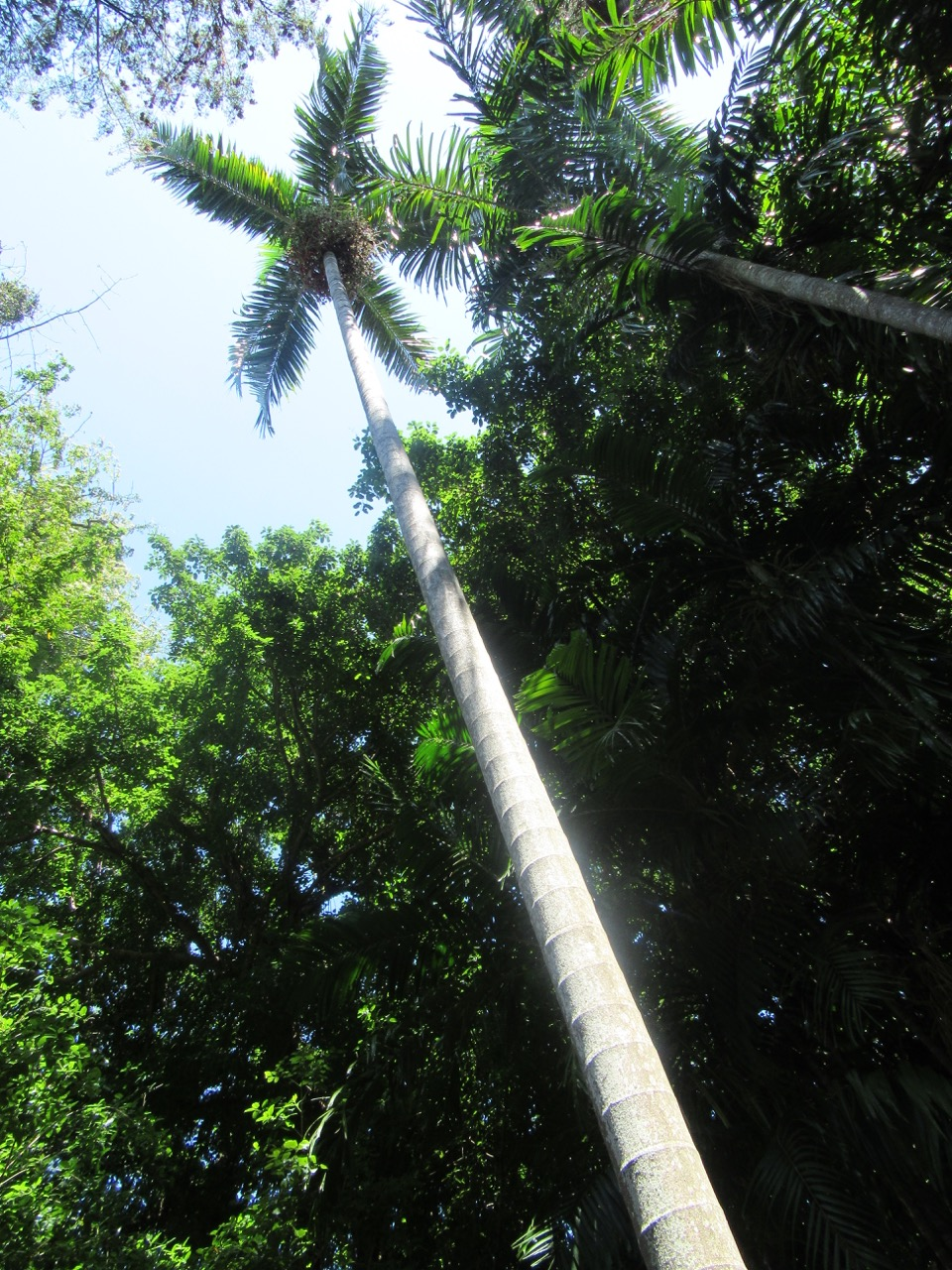 One of the tallest trees in the Botanical Gardens.