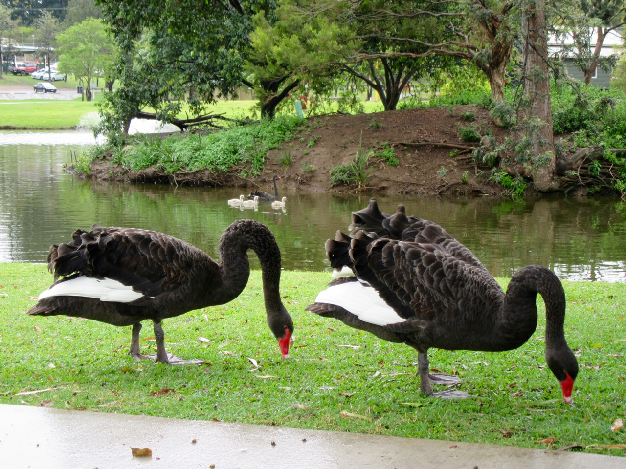 Black Swans in the park at Gympie
