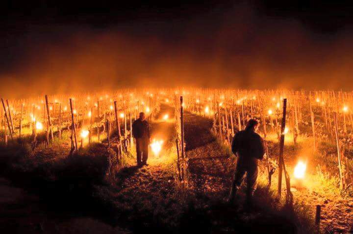 One way of keeping the vines warm