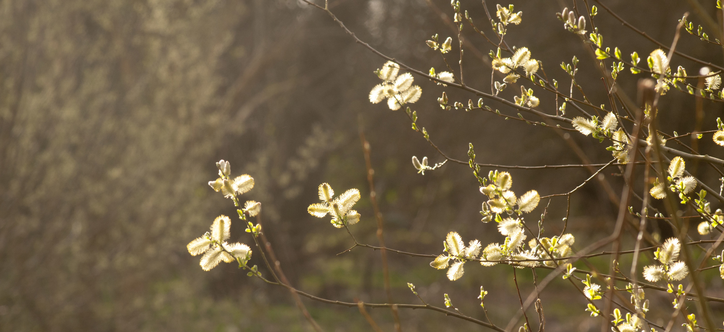 Early spring buds