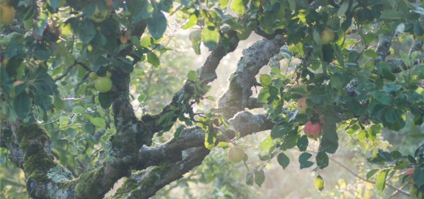 Apple tree in sunlight
