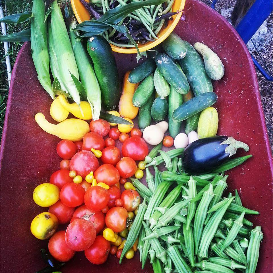 Just one batch of veggies picked last year! Okra, yellow pear tomatoes, lemon boy tomatoes, eggplant, cukes, purple and green beans, corn, and a few others!!