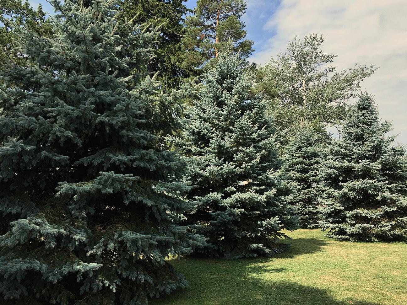 Pines.jpg