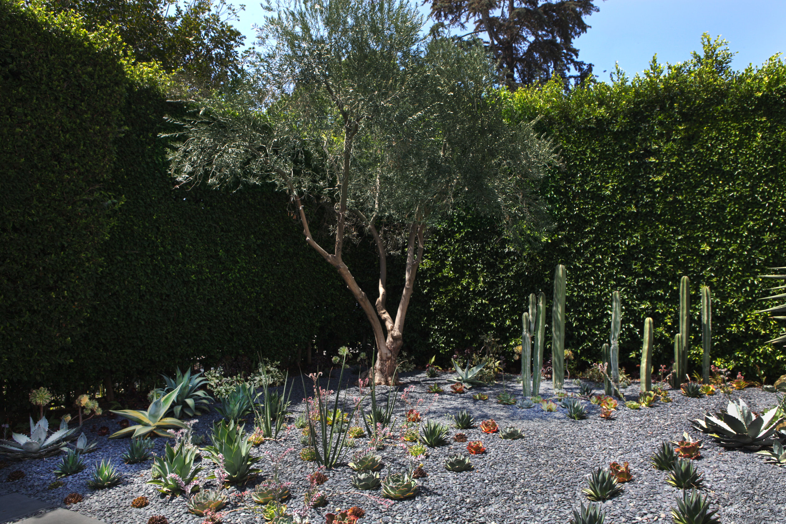 olive tree walled garden - Drought tolerant moroccan inspired xeriscape West Hollywood walled garden hedge house - Los Angeles garden design by Campion Walker Landscapes