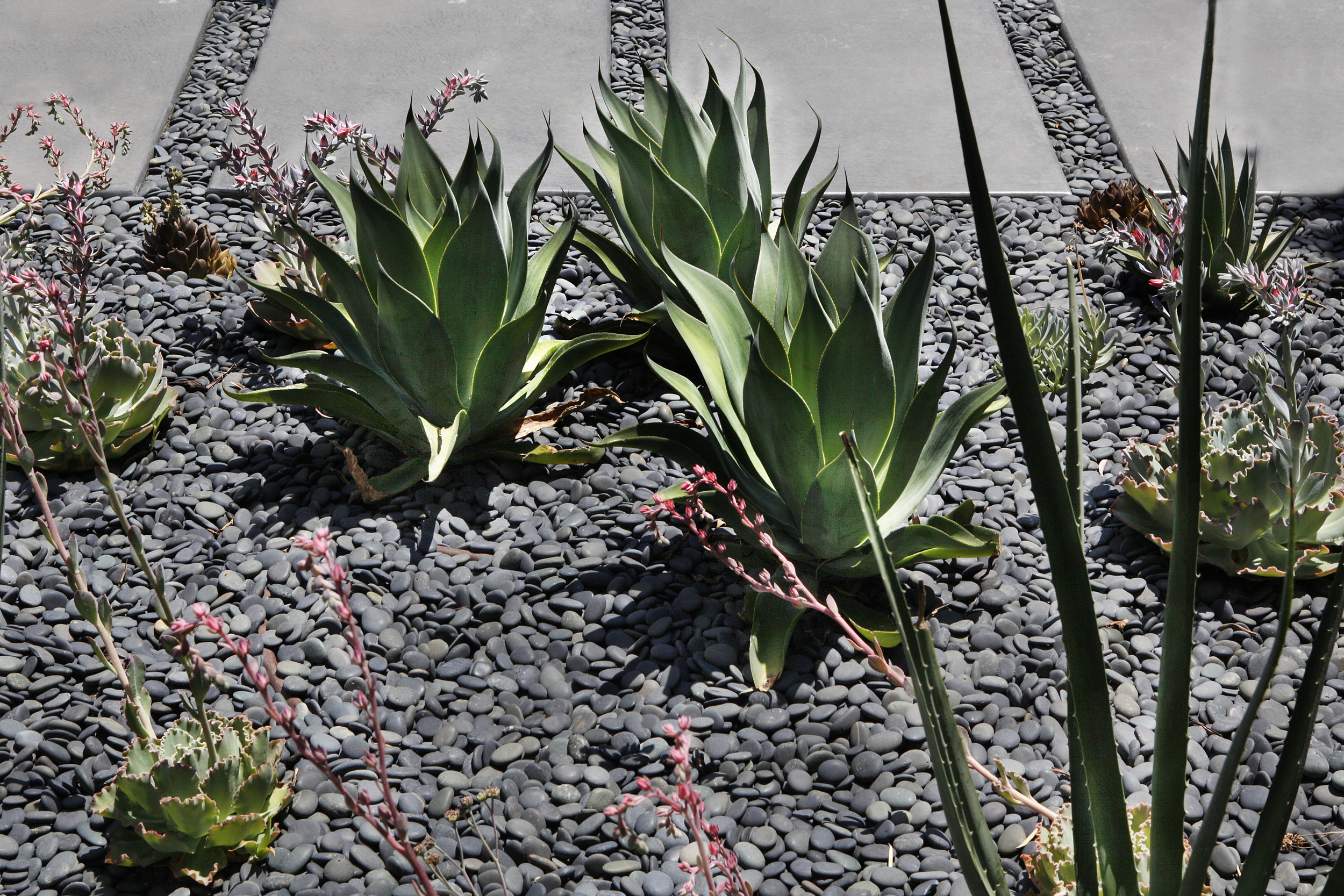 aloe and agave - Drought tolerant moroccan inspired xeriscape West Hollywood walled garden hedge house - Los Angeles garden design by Campion Walker Landscapes