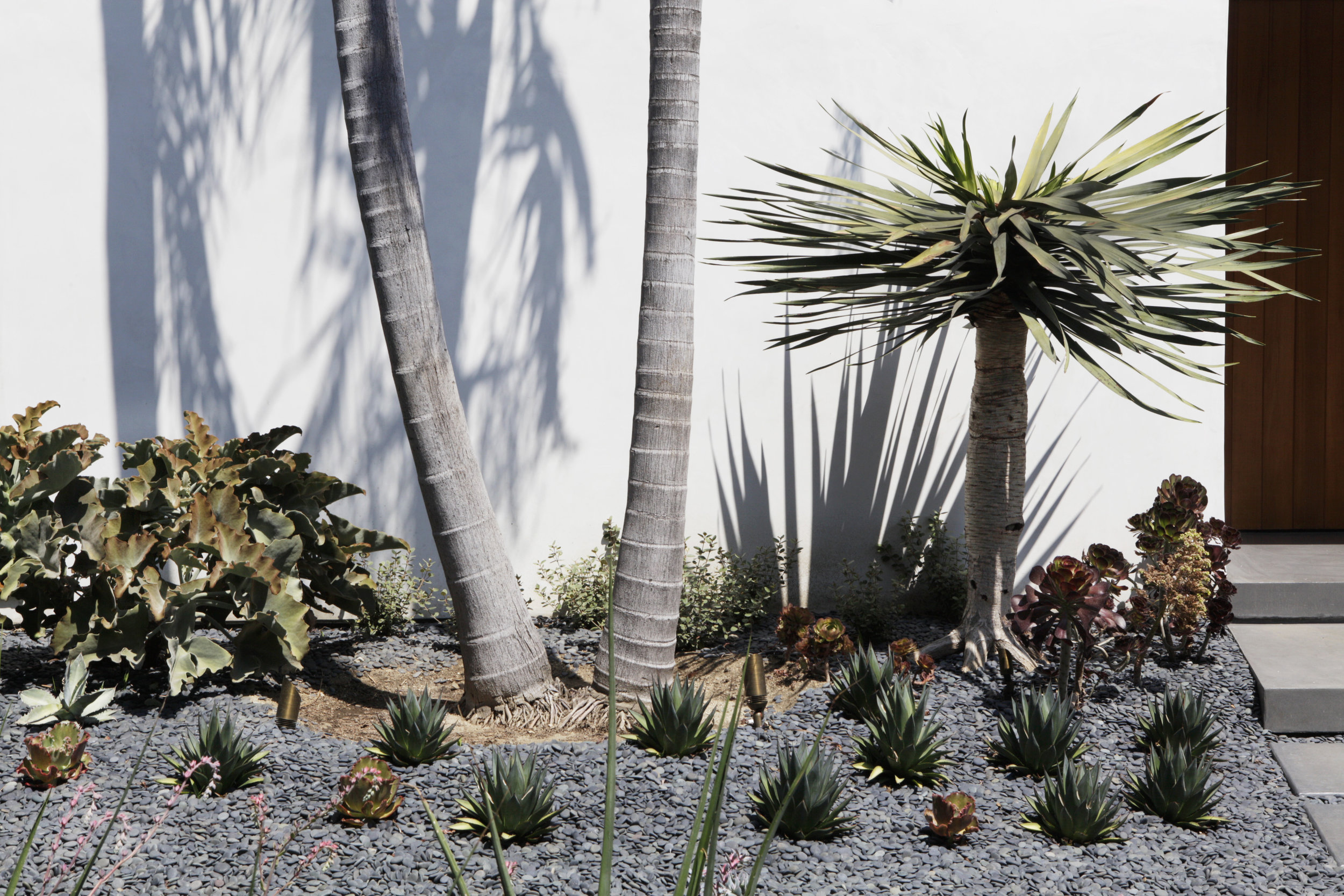 palm trees and succulents   - Drought tolerant moroccan inspired xeriscape West Hollywood walled garden hedge house - Los Angeles garden design by Campion Walker Landscapes