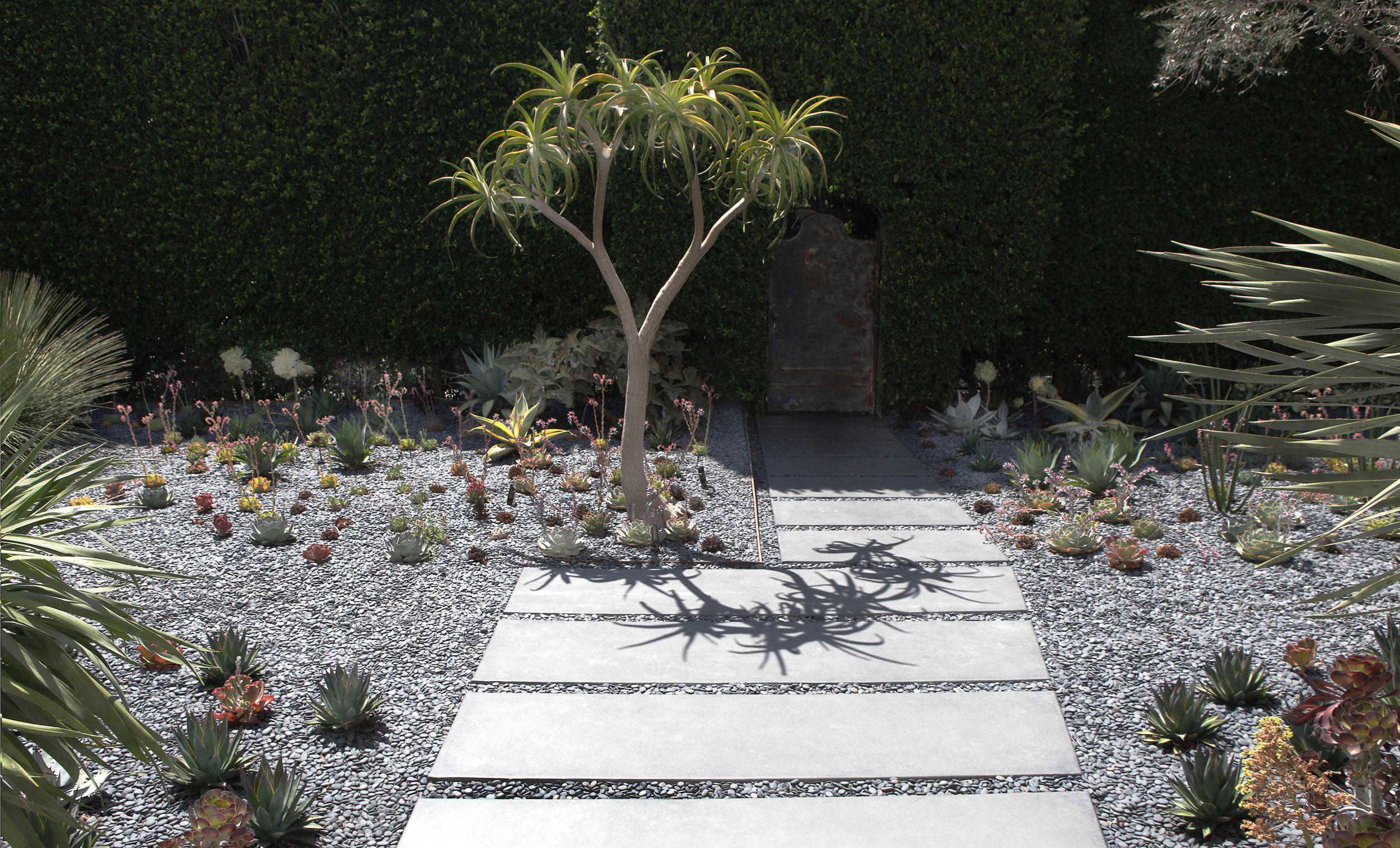 aloe bainesii succulent tree walled garden   - Drought tolerant moroccan inspired xeriscape West Hollywood walled garden hedge house - Los Angeles garden design by Campion Walker Landscapes