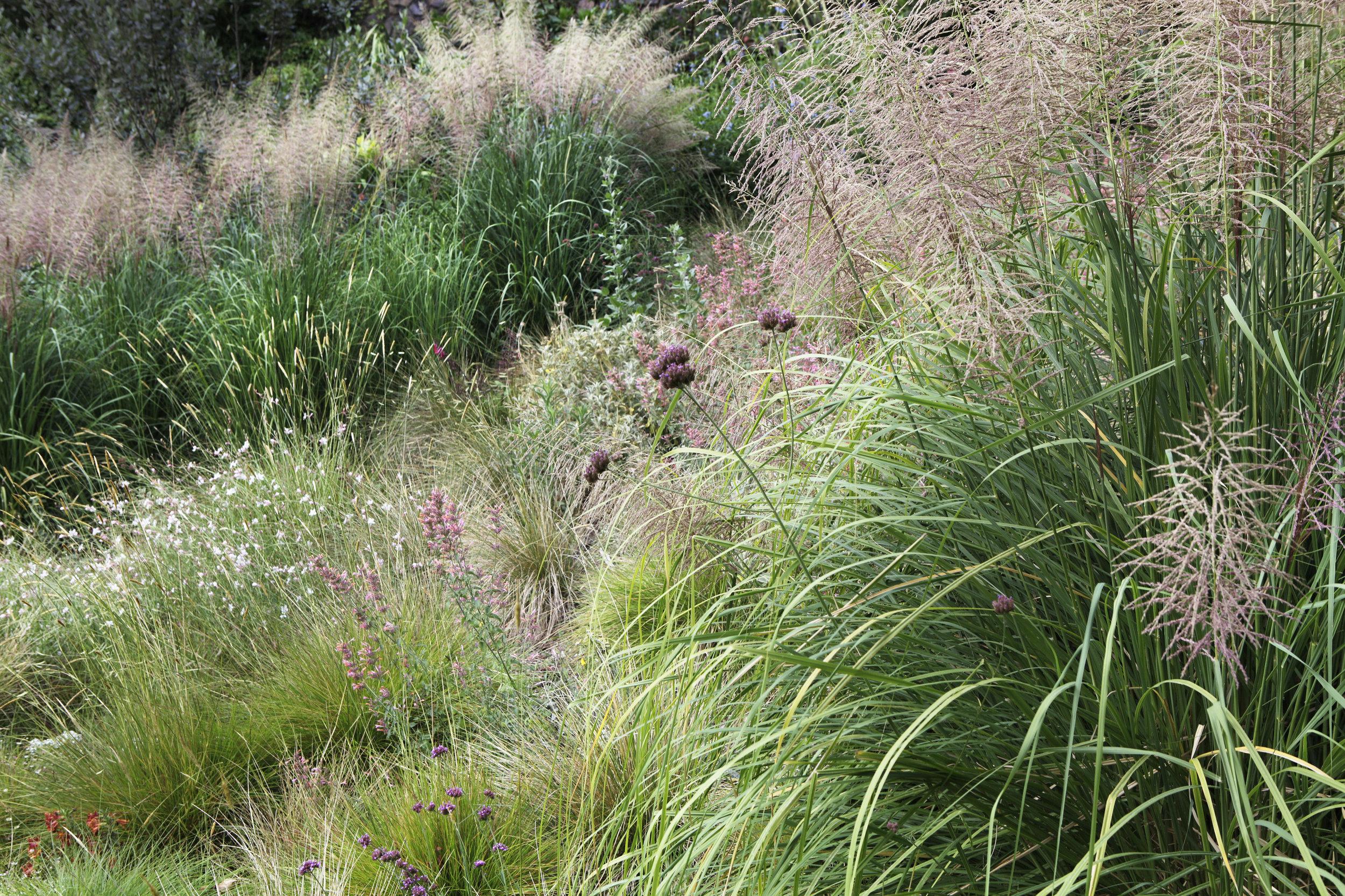 Meador grass garden with Chrysopogon zizanioides and Verbena bonariensis - Topanga Canyon - Los Angeles garden design by Campion Walker Landscapes
