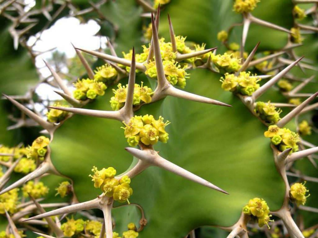 Euphorbia grandicornis 2.jpg