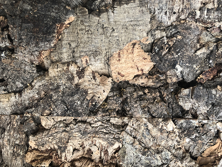 The bark of a Quercus suber tree is a beautiful texture, almost a still life of nature in progress.