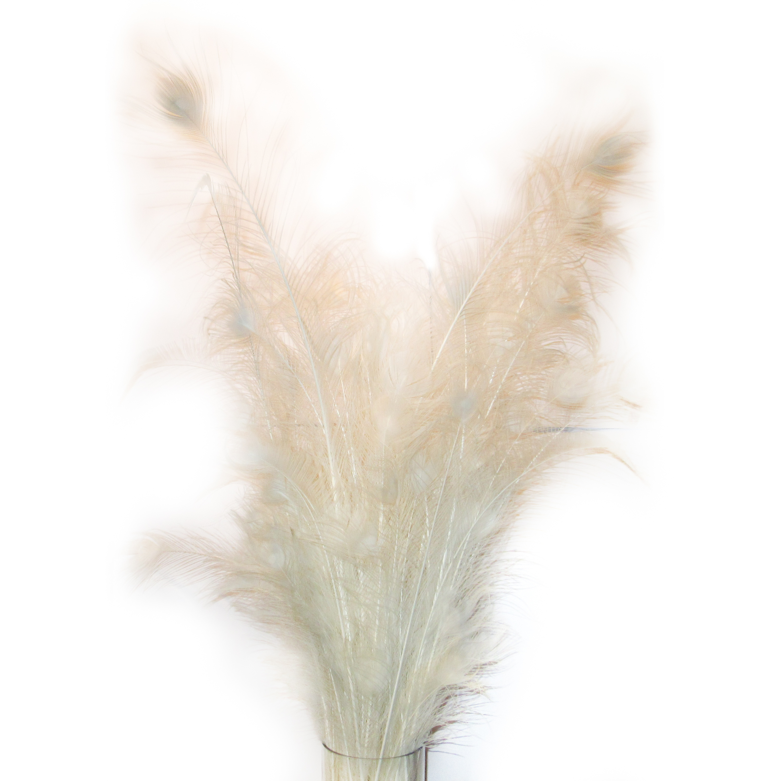 Plumes de paon blanches