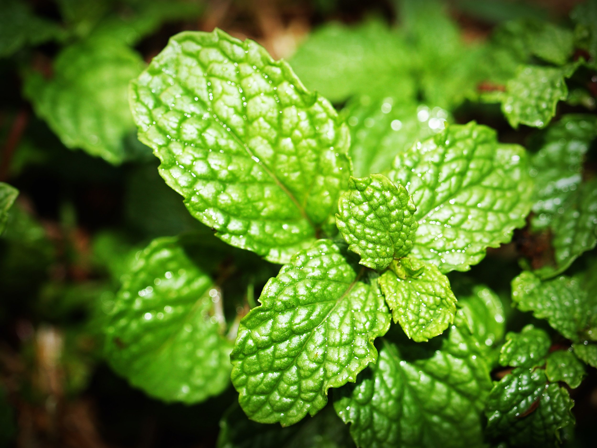 Spearmint is a PCOS Superfood