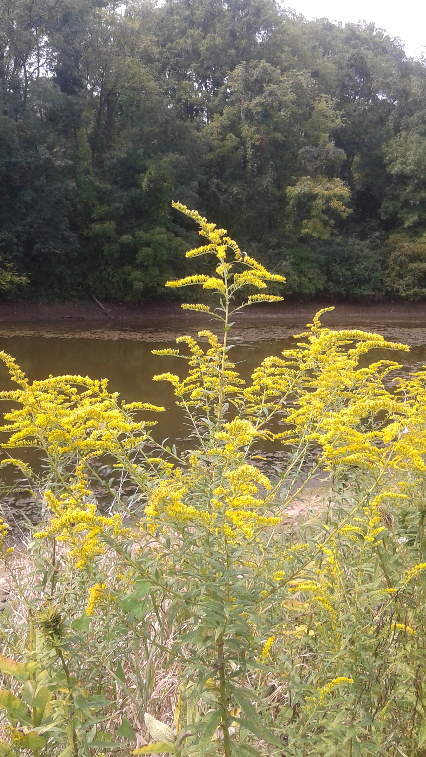 Golden Rod - GL Pond.jpg
